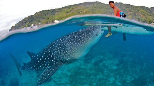 Befriending Giants - Whale Sharks of Oslob on Vimeo by Blue Sphere Media