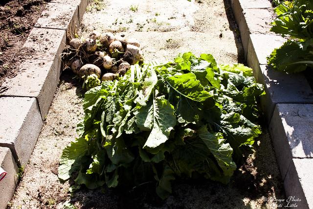 turnips2