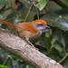 Pichororé (Rufous-capped Spinetail)