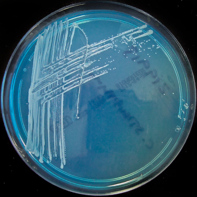 Header of corynebacterium