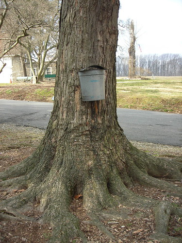 Maple Sugaring - Sap collection
