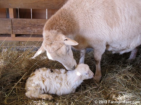 Wednesday random lamb photos 8 - FarmgirlFare.com