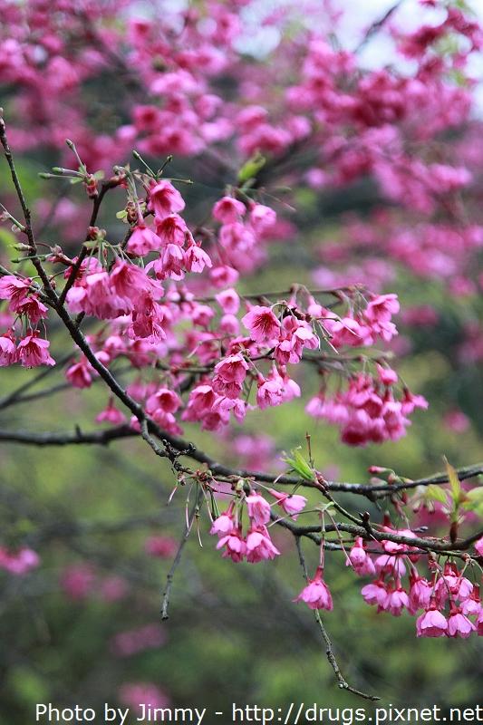 宜蘭 悅氏水源地 賞櫻花