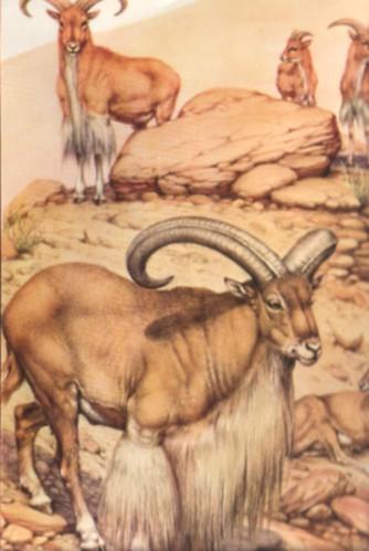 le mouflon de barbarie