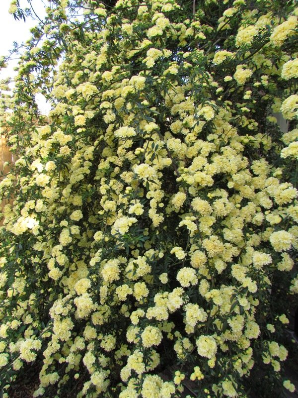 lady banksia rose