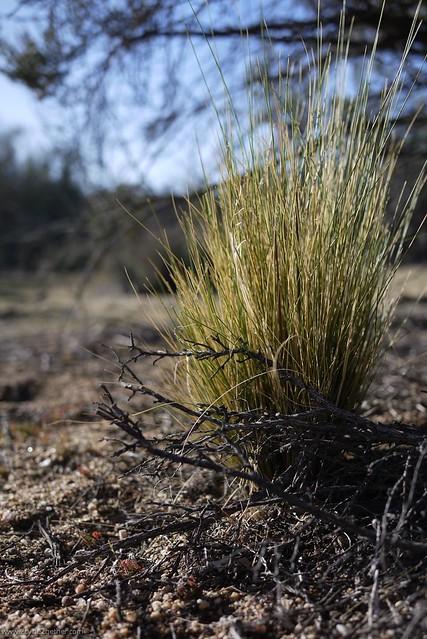 Desert Grasses