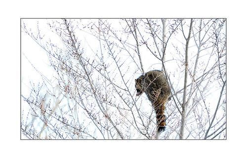 newmexico santafe raccoon waschbär santaferiver lacieneguilla