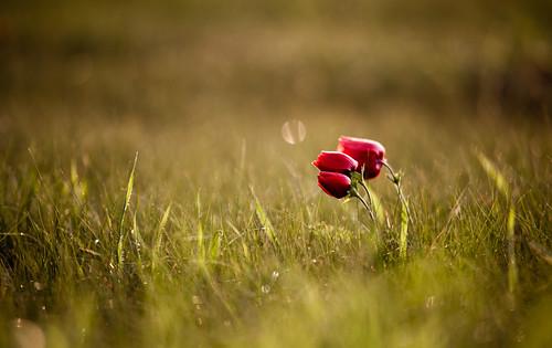 [フリー画像素材] 花・植物, ヒナゲシ ID:201204270600