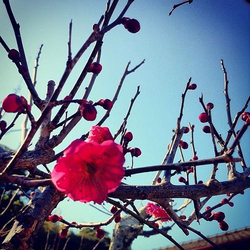 紅梅咲き出した。さて、出かけるばい