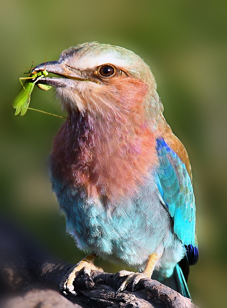 Lilac breasted roller with insect.. Serengeti