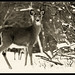 Mendon Ponds deer by dbjules