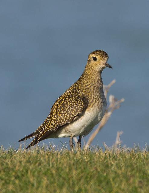 golden plover better