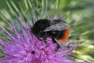 IMG_2067 Red-tailed Bumblebee (Bombus lapidarius)