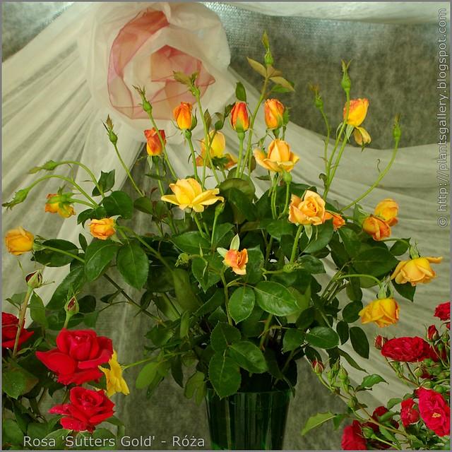 Rosa 'Sutters Gold' - Róża 'Sutters Gold'