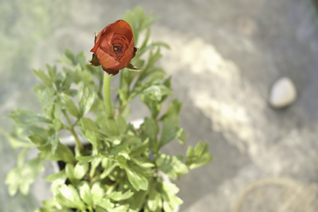 Red Red Ranunculus