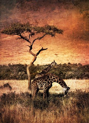africa texture gold kenya explore giraffe magicunicornverybest magicunicornmasterpiece