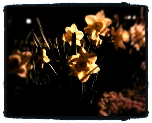 Daffodils at Night by Jodi K.