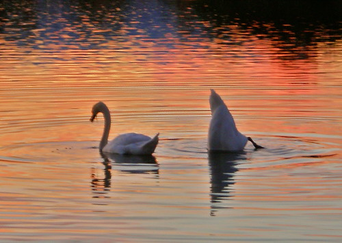 sunset red water birds reflections swans henley