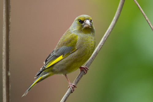 IMG_4522 Greenfinch