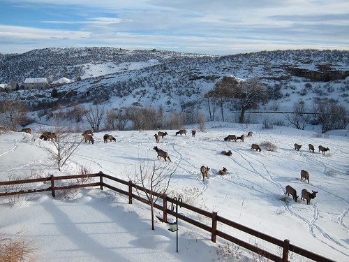elk in backyard, Golden, CO photo by Tim Davis