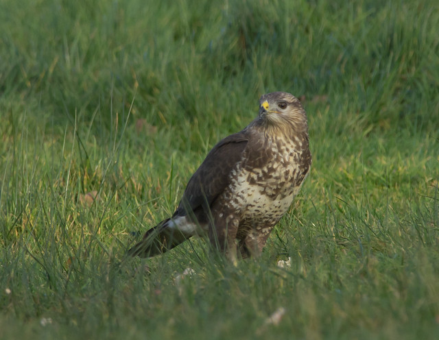 common buzzard on ground