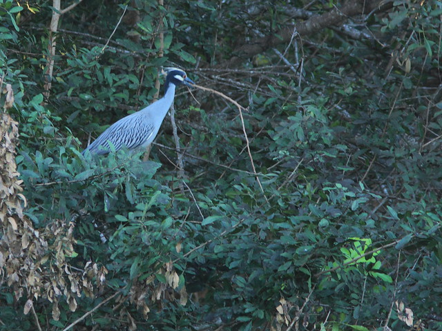 Yellow-crowned Night Heron with stick 20120304