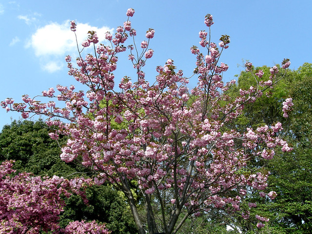 Photo:#3103 Japanese cherry (カンザン) By Nemo's great uncle