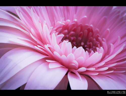 california pink flower macro love fleur prime petals spring flora nikon dof emotion affection fav50 flor fav20 gerbera daisy 90mm fav30 fiore fa margherita pf gettyimages naturesfinest 1000v fav10 fav40 fav60 juici tamronspaf90mmf28dimacro fav70 flickraward