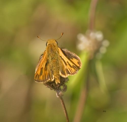 unitedstates florida butterflies insects grasshesperiinae skippershesperioidea florida121112 spacecoastarea