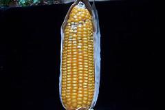 Mon, 04/20/2009 - 16:49 - Aspergillus colonized maize cob. Photo by IITA. (file name: MA_PD_013).