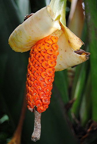 Alocasia portei...unusual bright orange seedheads hang in filtered morning light! by jungle mama