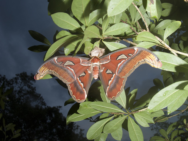 Atlas moth (Attacus atlas) at a cocoon