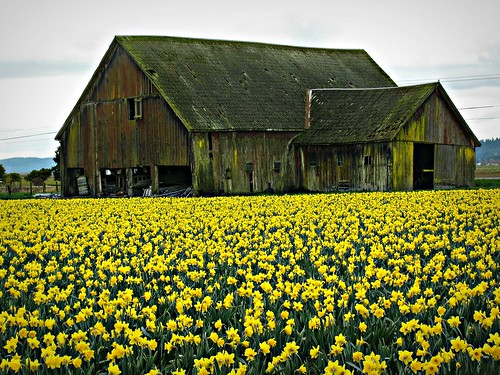 03-26-13 Old Barn and Daffs by roswellsgirl