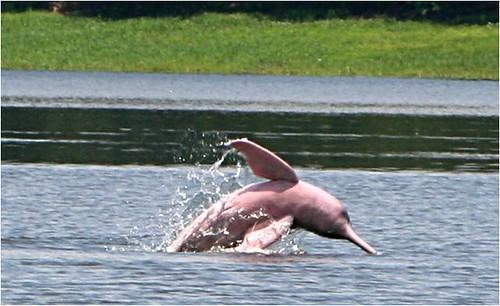 粉紅河豚在水中呈現的風采。(「Projeto Boto」攝)