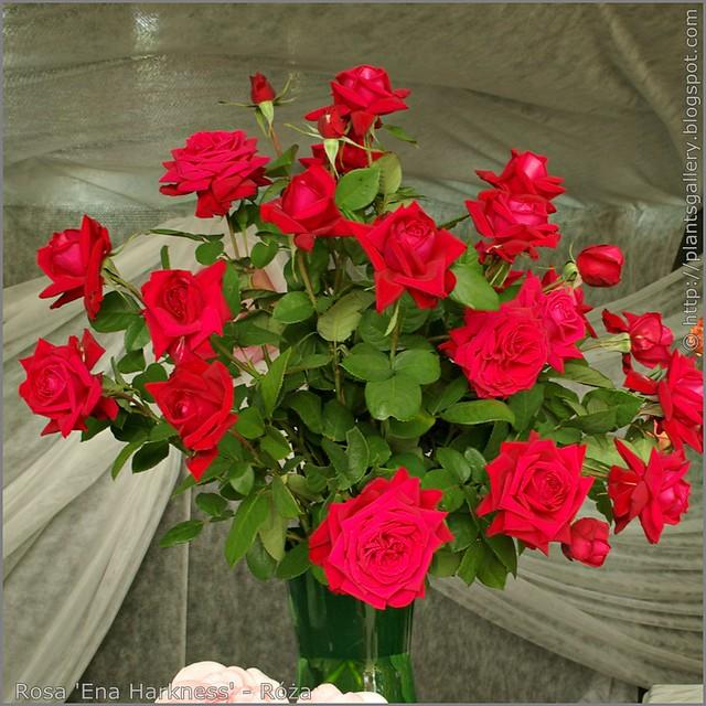 Rosa 'Ena Harkness' - Róża
