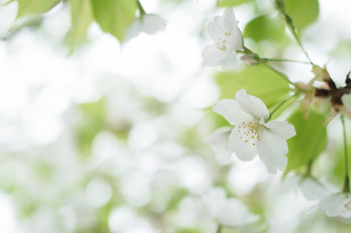 [フリー画像素材] 花・植物, 桜・サクラ ID:201205020600
