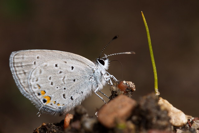 An Eastern Tailed-Blue (Cupido comyntas).
