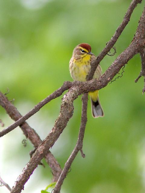 Palm Warbler 20120501