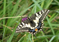 Swallowtail - Papilio machaon