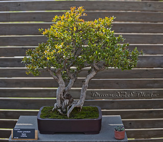 Bonsai-Punica Granatum-Jardi Botanic de BCN 21