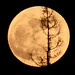 Gig Harbor, WA, Super Moon - Behind a Dying Fir Tree by JimsPics