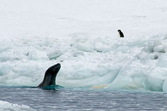 21998-Leopard-seal-spybotting-for-seals