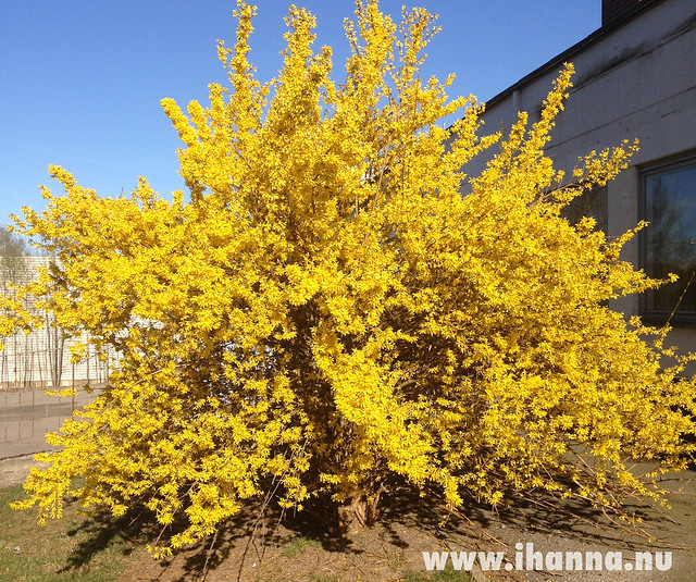 Yellow explosion of Spring