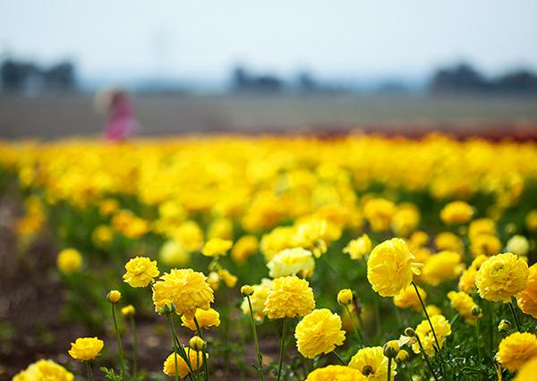 שדה נוריות, קטיף נוריות בקדמה, נוריות, ranunculus field, yellow, flowers of Israel