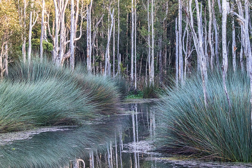 trees water forest reflections walking landscape wildlife tracks lagoon swamp paperbark australianfloraandfauna melaleucas nativebushland