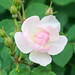 2016 Spring rose by shinichiro*