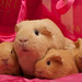 Almond's_Kamomilla_2 by Lea Rahtu-Korpela