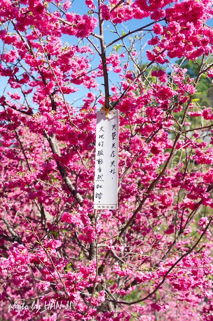 大坑濁水巷櫻花-10