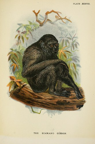 021-El gibon siamang-A hand-book  to the primates-Volume 2-1896- Henry Ogg Forbes
