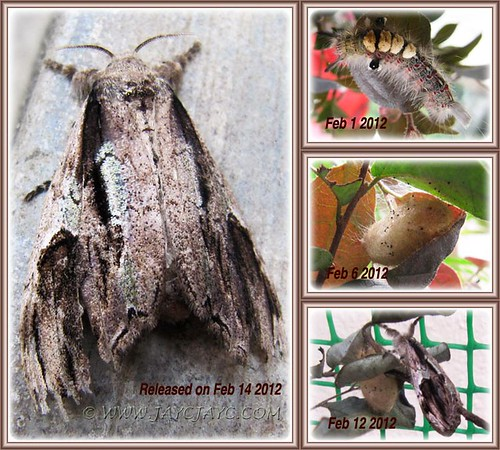 Collage of Olene mendosa (Brown Tussock Moth): caterpillar, cocoon and adult moth